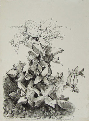 Pleiospilos near Three Sisters Charcoal on Paper 560 x 760